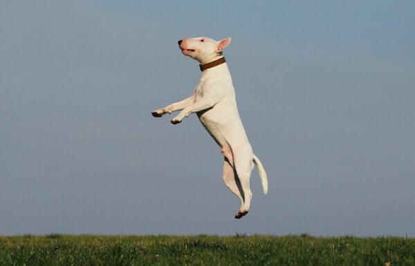 pies skacze wzwyż