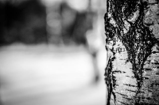 brzoza sfotografowana zimą